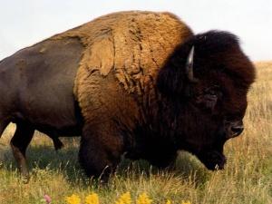 31 - 5 - gobba di bisonte