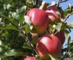 7 frutti