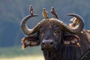 30 - birds on buffalo